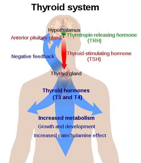 cum să pierdeți greutatea în timp ce pe tiroxină)