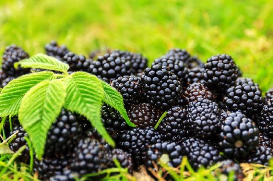 fructele de padure ard grasimi
