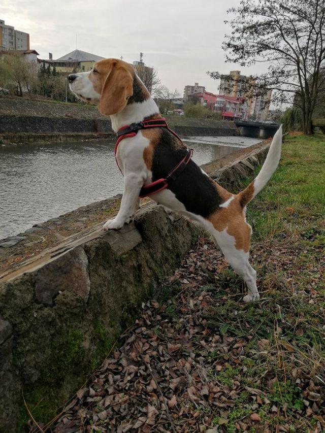 Pierde femela grasime de sold. BEAGLE – Sanatate | Beagle Romania