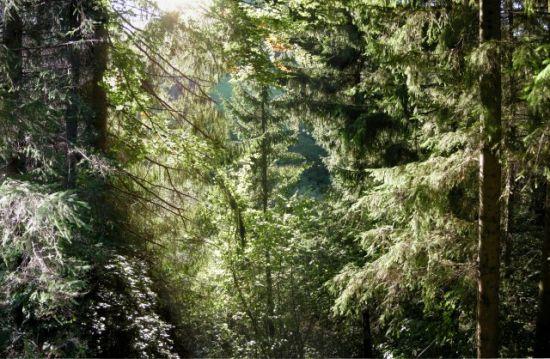 pădure de molid ewyn)