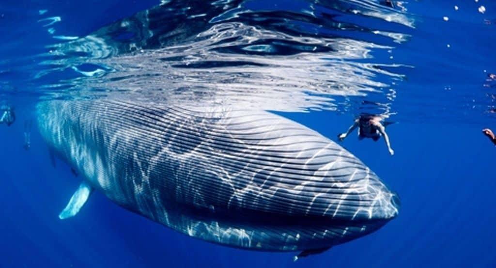scădere în greutate a balenelor cu cocoașă)