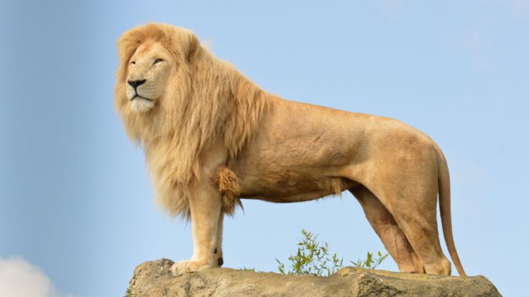 Leu - Lion - papaieftin.ro