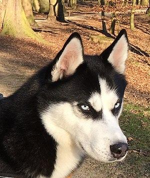scădere în greutate husky