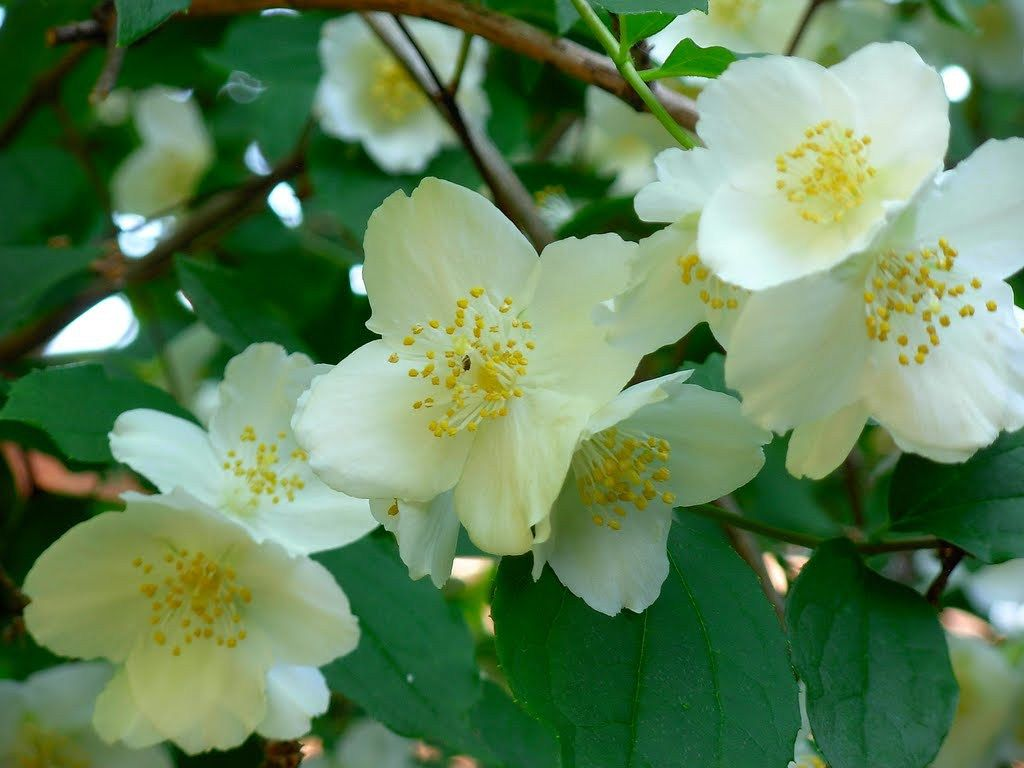 Planta care te energizeaza la fel ca o ceasca de cafea si previne raceala si gripa