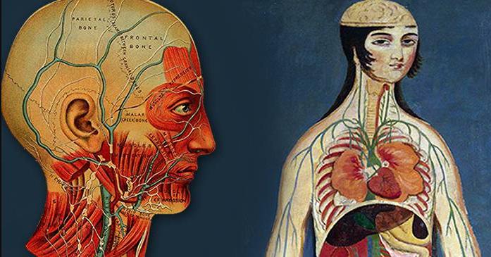 clarinele subțiri ale corpului