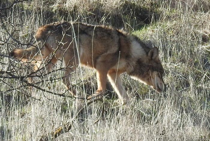 pierderea în greutate a lupului