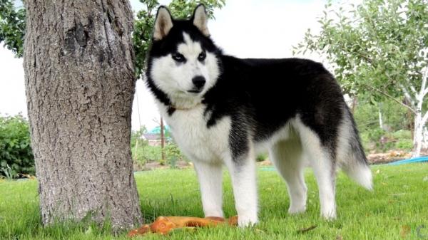 husky pierde in greutate)