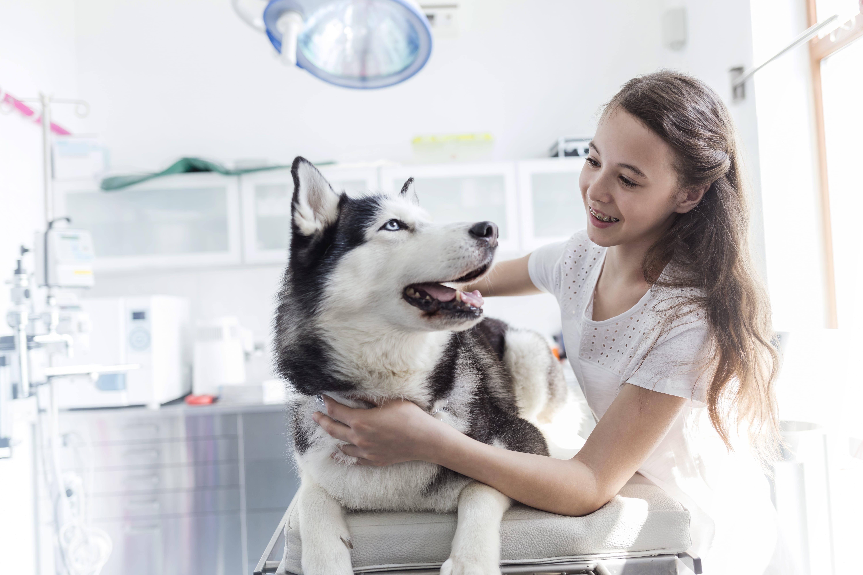 Husky Siberian - Informații, Caracteristici, Culori, Marime, Greutate, Pui