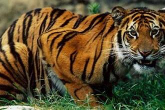 scădere în greutate tigru violet